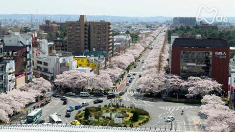 小さな旅さくら道で~東京 国立市~