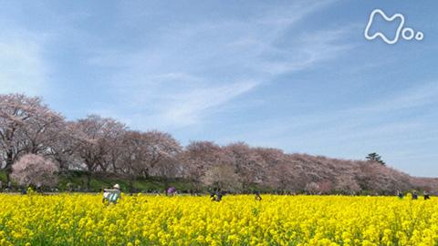 小さな旅「桜道 あでやかに~埼玉県 幸手市~」