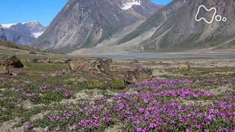 体感!グレートネイチャー「地球最古の大地に奇跡の花園~北極圏バフィン島の夏~」